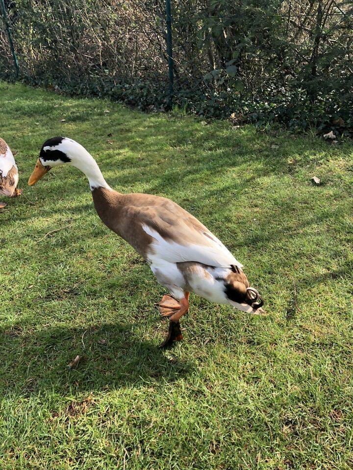 Bruteier Von Farbreinen Rehfarbig Weiss Gescheckten Laufenten In Nord Hamburg Langenhorn Wellensittiche Und Kanarienvogel Kaufen In 2020 Ente Wellensittich Sittich