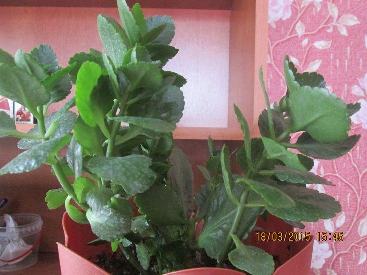 Каланхоэ - уход в домашних условиях, цветение, размножение и пересадка, видео