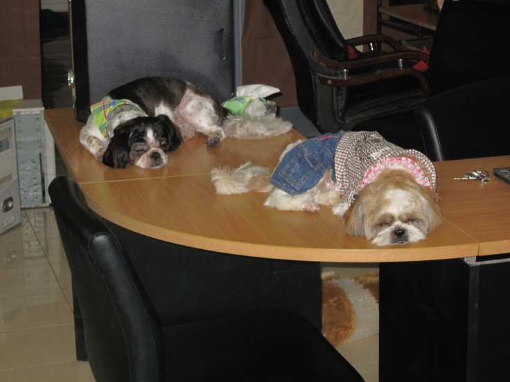 Office dogs at Pattaya, Thailand.