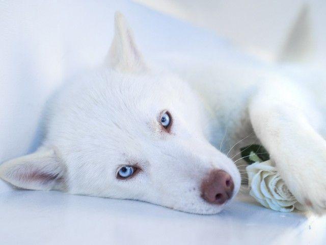 Haski dog