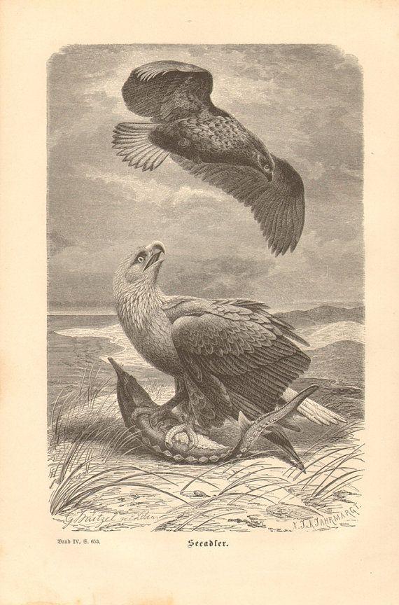 1878 White-tailed Eagle Sea Eagle or Erne  by CabinetOfTreasures