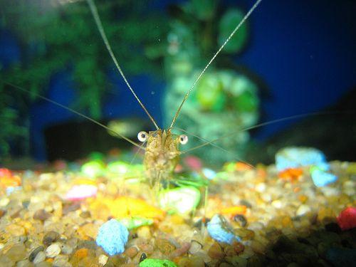 Ghost Shrimp.. Shrimp Aquaria Pinterest