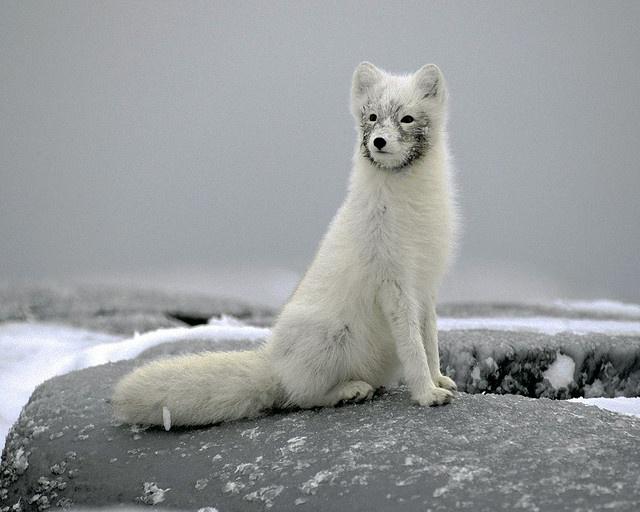 Arctic Fox in Canada