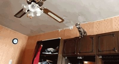 This kitten who didn't think this ceiling fan thing through.