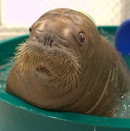 Orphaned Mitik the baby walrus got a new lease on life - and became the main attraction - when he was Fed–Exed from Alaska to the New York Aquarium.
