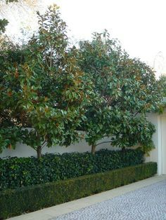 "Magnolia 'Little Gem'-easily controlled to te 2.5-3m height range that suits your requirements ben. Will generally form a clipped block of foliage over time though not as dense as the lilly pilly we chatted about. *Could be used as a ""pleached"" hedge(stripping the trunk of foliage and promoting foliage on the top half of the plant) so that a second tier of plant material can be included underneath for a more dynamic visual aesthetic."