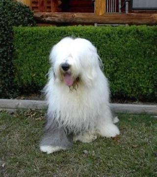 old english sheepdog pictures free | dog for sale old english sheepdog puppies
