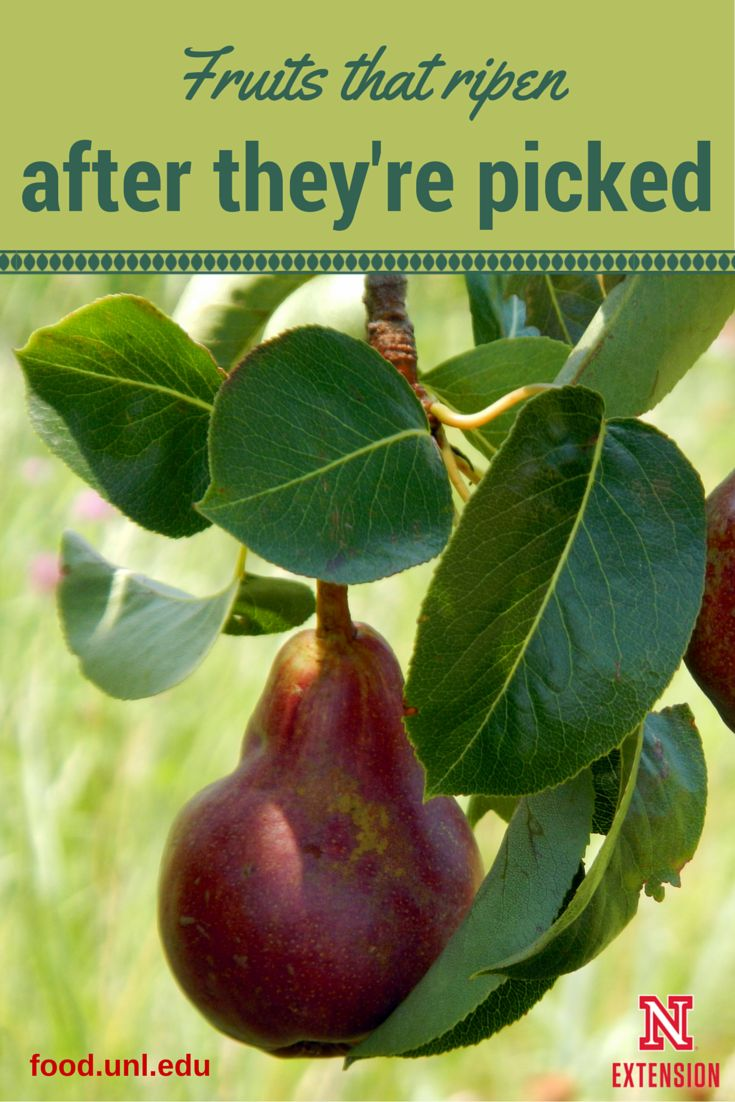 ruits that continue to ripen after they're picked. Plus how to help them ripen. #NebExt