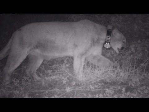 CBS This Morning: Did Hollywood mountain lion P-22 kill a zoo's koala?