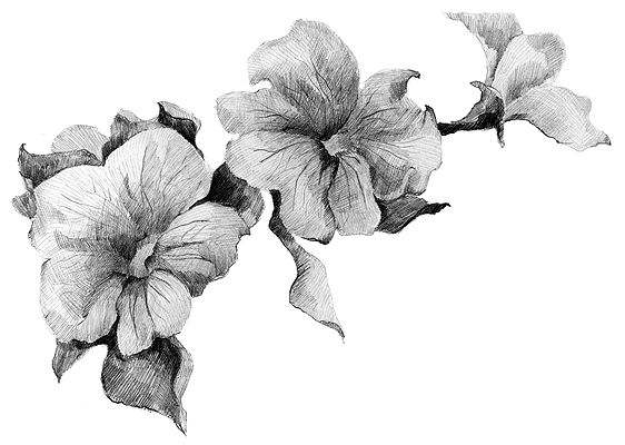 petunia pencil sketch. My Pepo loved petunias and raised an abundance of them every year in his greenhouse. Love and miss you Pepo <3