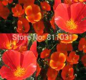 50 красный доставка-калифорния цветок мака семена - для засуховыносливые горячие климат области - отличный вариант для срезанные цветы. Бесплатная доставка
