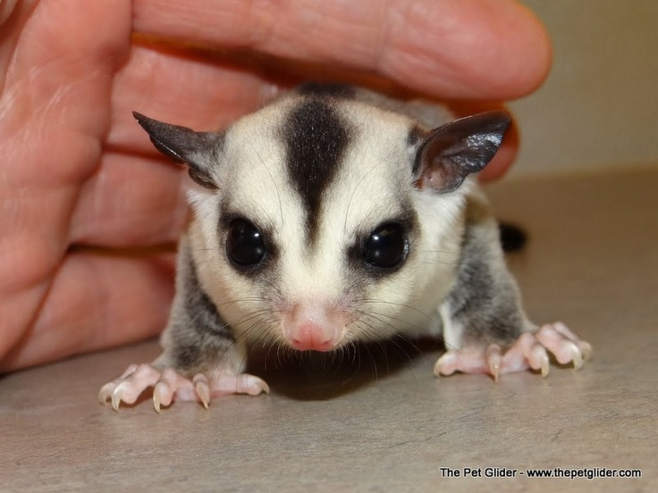 1000+ images about sugar gliders