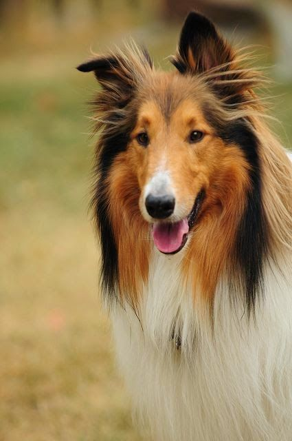 Top 5 Most Loyal Dog Breeds of All times: Rough Collie.