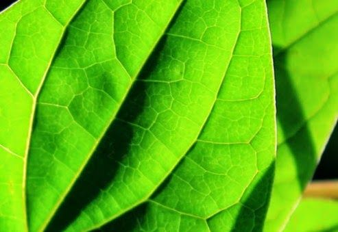 http://j-f-magre.blogspot.com/2014/09/khasiat-daun-sirih-bagi-kesehatan.html