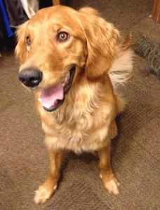 This is Macy - 1 yr. She is an owner surrender -  a new baby & a young puppy were too much. She is spayed, current  on vaccinations, walks great on leash, knows some commands. Is hesitant about car rides & not use to grooming. She is shy at first but warms up quickly. Macy is at  Memphis Area Golden Retriever Rescue, TN
