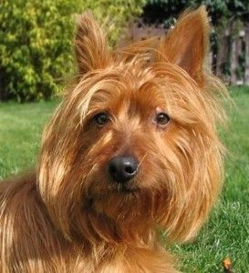Фото позитивной крохи породы собак австралийский терьер.
