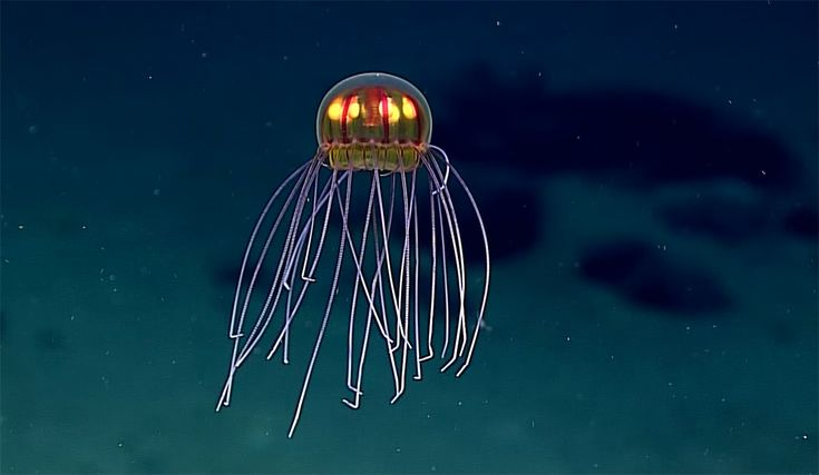 Researchers came across this 'flying saucer' jellyfish while surveying waters near the ocean's deepest point.