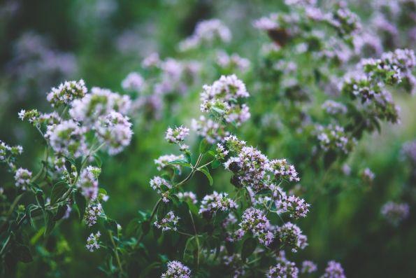 Orenga en flor