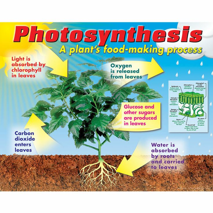 Classroom Handout Ideas ~ Photosynthesis poster science ideas pinterest
