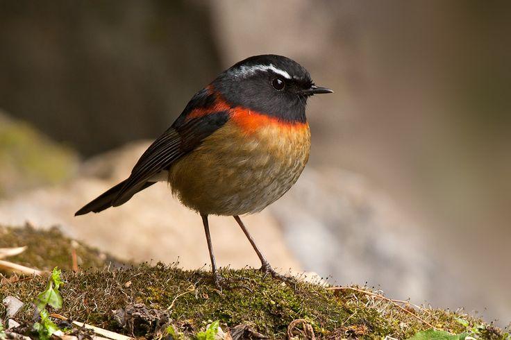 ... shamas redstarts forktails collared bush robin tarsiger johnstoniae