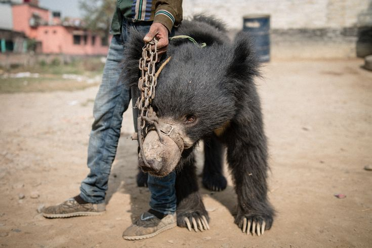 An overnight rescue of two captive bears Tuesday ended the tradition of bear dancing in Nepal, the World Animal Protection (WPA) said.