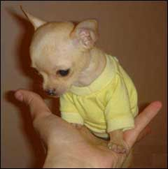 Teacup Chihuahua.  Can't believe they make dogs this small.