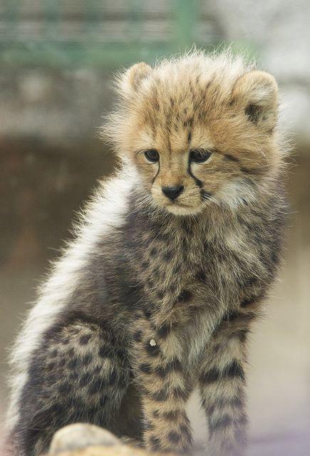 baby cheetah | Flickr - Photo Sharing!