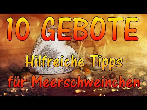 Ratgeber für Meerschweinchen Einsteiger: Die 10 einfachen Gebote   Moehschweinchenfarm.de