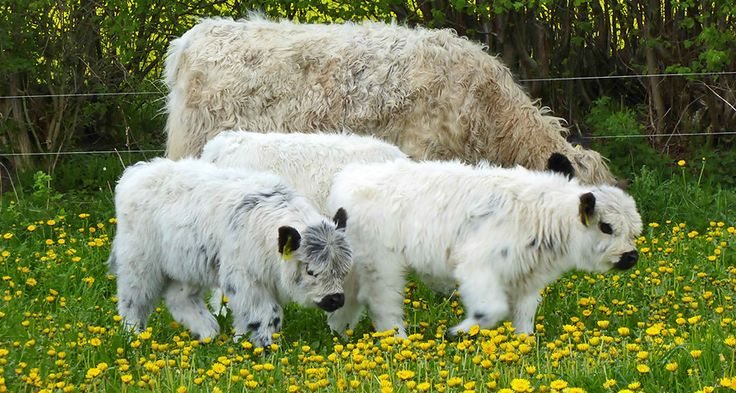 Welcome to Mechthild Bening and the White Galloways vom Bebensee