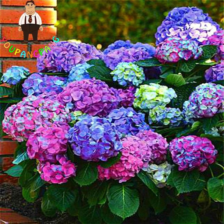 Rainbow Hydrangea Seeds Indoor Balcony Bonsai Plants Flowers Hydrangea Macrophylla Flower Seed 100 Pieces / Lot For Garden Plant