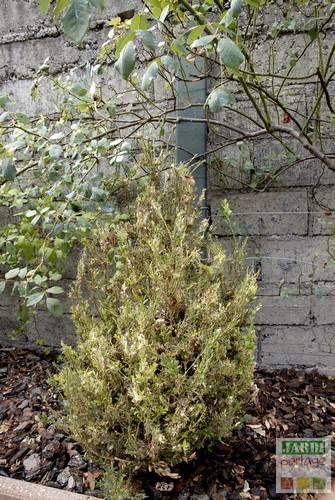 15 pingles pyrale du buis incontournables chenille du buis diy jardin et bac plante. Black Bedroom Furniture Sets. Home Design Ideas
