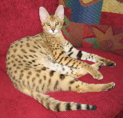 Savannah Cat, beautiful! I want one to come live with me.  :)