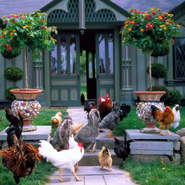 Chickens on parade in front of the Chicken Palace.