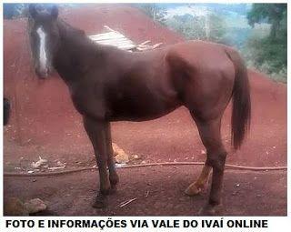 BLOG DO MARKINHOS: Cavalo da raça é furtado na zona rural de Ariranha...