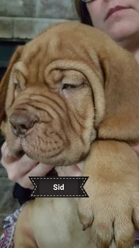 Litter of 9 Dogue de Bordeaux puppies for sale in ARLINGTON, TX. ADN-38670 on PuppyFinder.com Gender: Male. Age: 9 Weeks Old