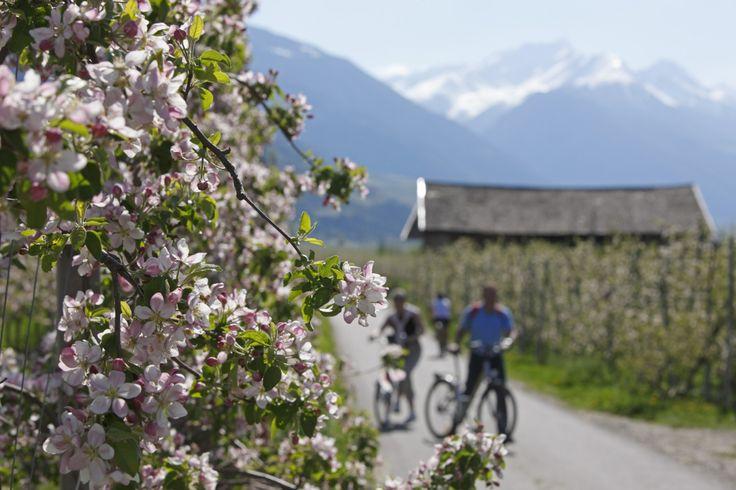 Blühende Apfelwiesen im Frühling