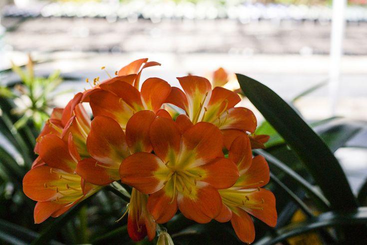 Clivia miniata, ULaLa x Eesh.  Colorado Clivia's plant no. 1087A.