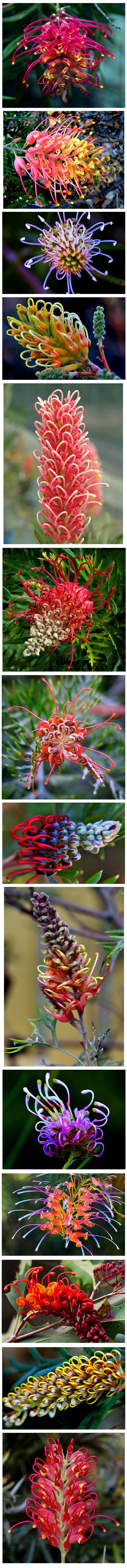The rainbow of Grevillea