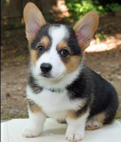 Corgi's are just the cutest things ever