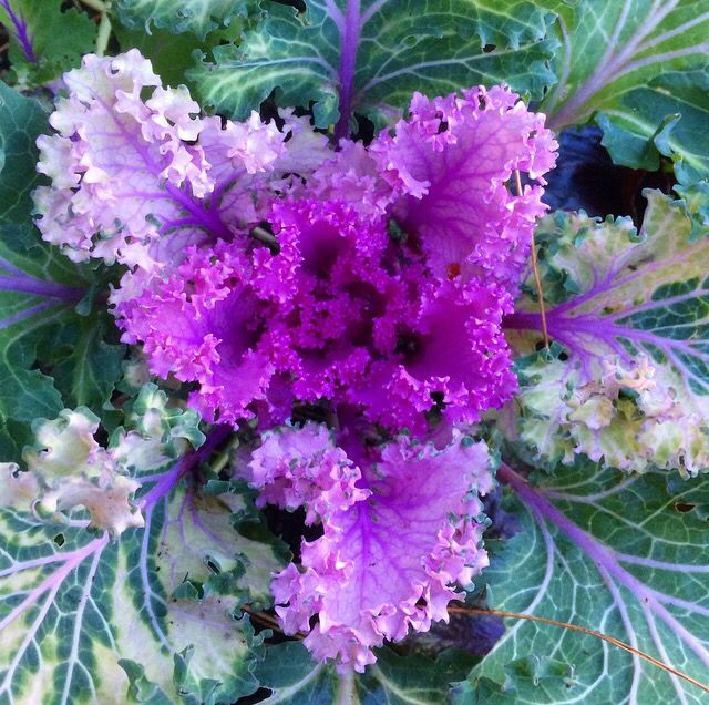 Purple Kale, super good for you and a delight to look at.