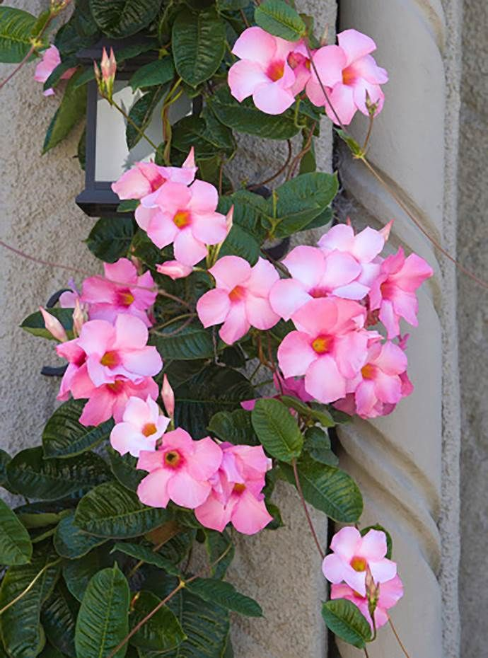 Growing Mandevilla: 8 Fast Growing Climbing Plants