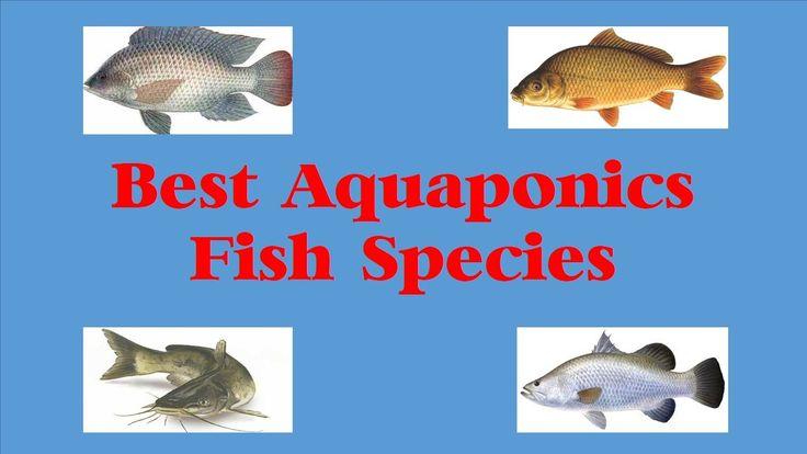 best aquaponics fish species
