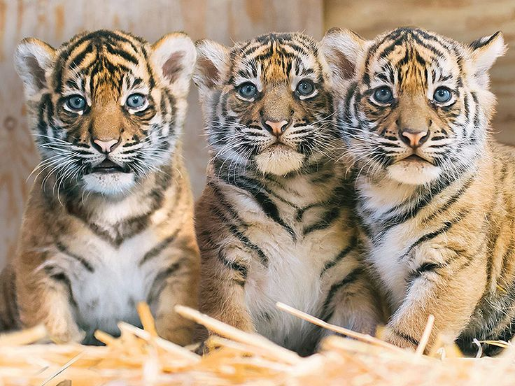 Tiger Cub Triplets Make Debut at Point Defiance Zoo in Washington : People.com