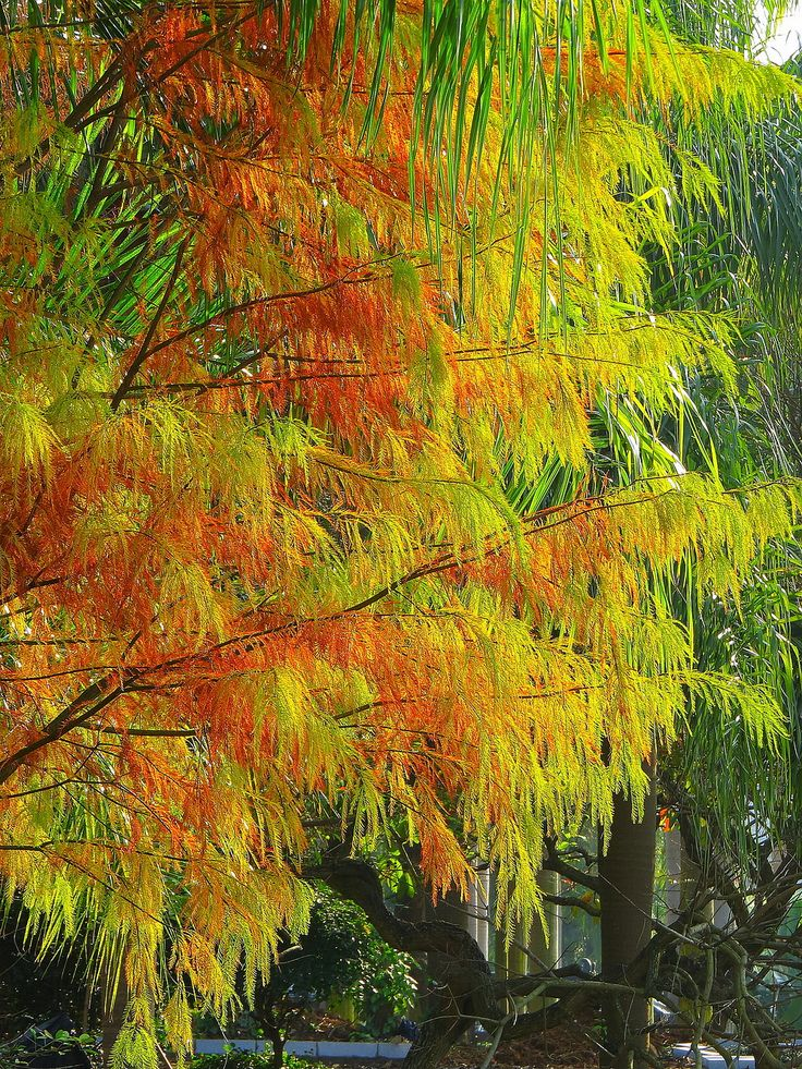 Golden Metasequoia—— Autumn to the Guangxi Golden Camellia Park,Nanning ,China. https://twitter.com/Beautifulgx