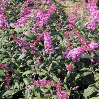 Sommerflieder Pink Delight - Buddleja davidii Pink Delight günstig online kaufen