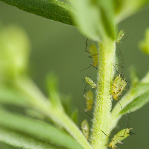 How To Get Rid Of Aphids On Trees Naturally