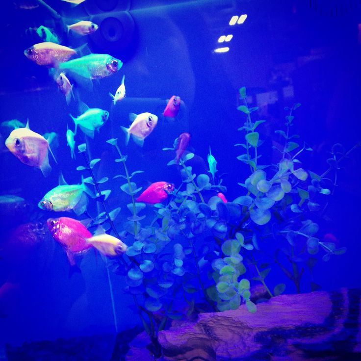 17 best images about glofish on pinterest glow live for Glow fish tanks