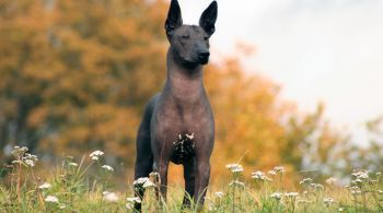 Xoloitzcuintle | Cão sem Pelos Mexicano