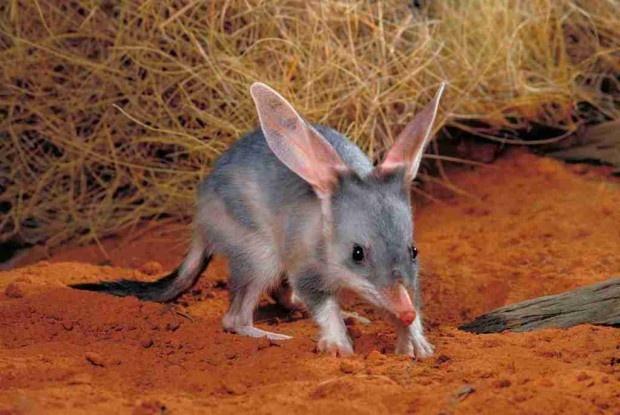Rabbit bandicoot or ordinary Bilby (Latin Macrotis lagotis) (born Greater Bilby) #Australia #bandicoot Australian Discount Club support bandicoots http://www.kangadiscounts.com