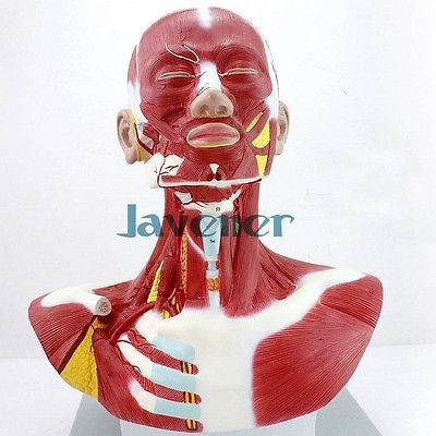 Human Anatomica Muscles Of Head And Neck Anatomy Medical Model Facial Plastic #Affiliate